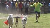 Karapan kambing merupakan tradisi turun temurun warga Probolinggo, khususnya masyarakat Pandulungan.