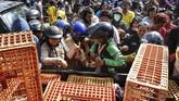 Para peternak membagikan ribuan ayam secara gratis kepada masyarakat. Hal itu dilakukan sebagai salah satu bentuk protes karena harga ayam anjlok.