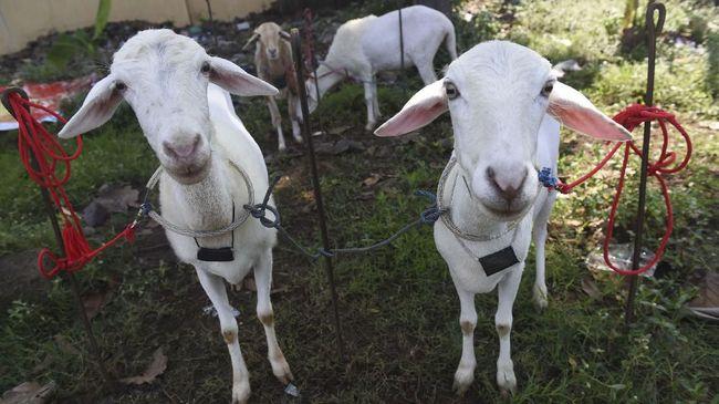 Daging kambing memang memiliki aroma yang kuat dan daging alot. Aroma khas kambing ini dikenal dengan bau prengus. Berikut triknya.