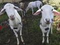 Serba-serbi Masak Daging Kambing: Bebas Alot dan Tak Prengus