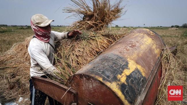 Para petani dikawasan Marunda, Cilincing, Jakarta mulai sibuk memanen padi yang sudah mulai menguning.