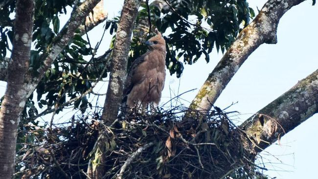 Taman Nasional Gunung Gede Pangrango (TNGGP) kembali menemukan sebuah sarang elang Jawa (Nisaetus bartelsi) di wilayah Sukabumi pada Senin (1/7) lalu.