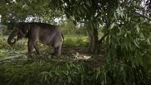 Puluhan Gajah Liar Rusak Kebun Sawit Warga di Aceh