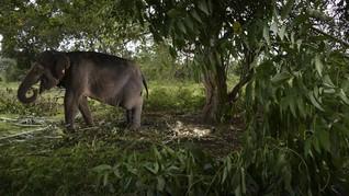 Keasyikan Main, Gajah Muda Tersesat saat Migrasi di China