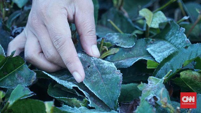 Embun yang membeku akibat cuaca ekstrem di Kabupaten Bandung menjadi persoalan bagi para buruh pemetik daun teh karena tak mendapat hasil petikan maksimal.