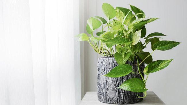 Selain lidah mertua, tanaman lain juga diyakini efektif untuk membantu mengurangi polusi udara.