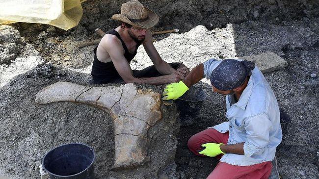 Dinosaurus yang ditemukan melalui fosil itu diperkirakan punya panjang 30 meter dan setinggi 5 sampai 6 meter.