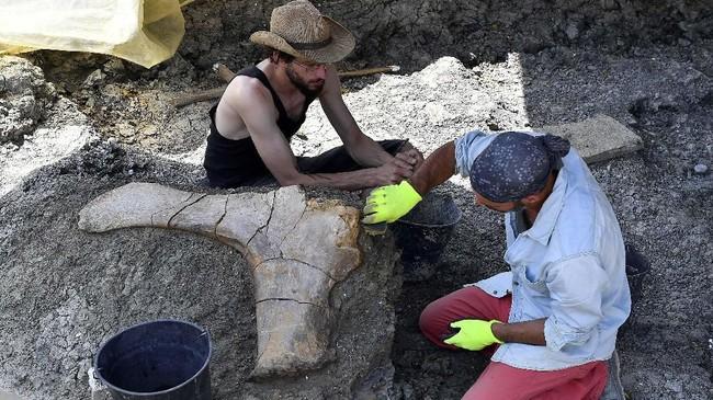 Ahli paleontologi asal Prancis Ronan Allain dan tim menemukan tulang paha dinosaurus raksasa di situs penggalian di barat daya Prancis.