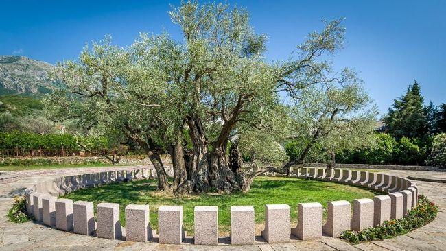Stara Maslina, pohon zaitun Montenegro diklaim menjadi yang tertua di Eropa, usianya bahkan lebih tua dari Yesus Kristus.