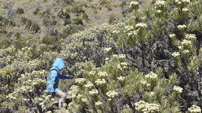 Bunga Edelweis memiliki daya tarik tersendiri. Tanaman ini dikenal sebagai 'bunga abadi' karena tak mudah layu dan hidup dalam waktu lama.