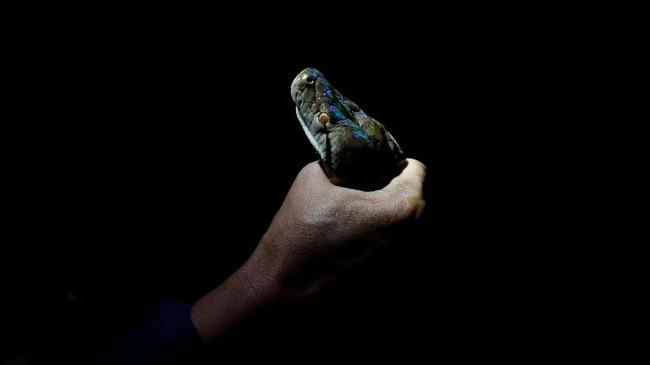 Selama 16 tahun bekerja, Pukpinyo telah menangkap 10 ribu ular. Beberapa di antaranya merupakan ular berbisa.