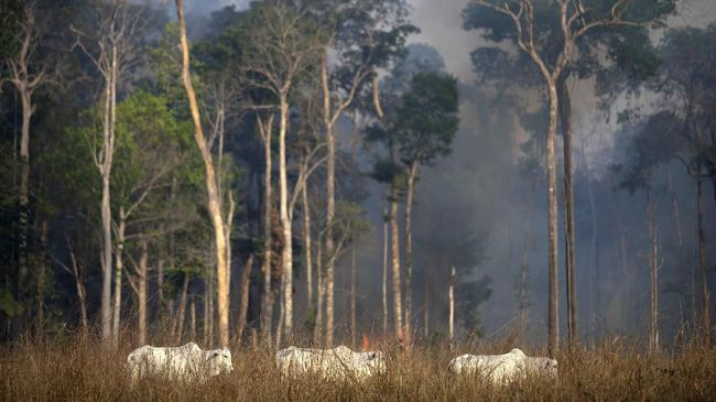 View of a cattle with fire behind in the Amazon rainforest near Novo Progresso, Para state, Brazil, on August 25, 2019 - Brazil on Sunday deployed two C-130 Hercules aircraft to douse fires devouring parts of the Amazon rainforest, as hundreds of new blazes were ignited and a growing global outcry over the blazes sparks protests and threatens a huge trade deal. (Photo by Joao Laet / AFP)