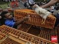 Kementan Bagi-bagi 1 Juta Ekor Ayam ke Petani Miskin di Jawa