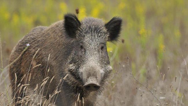 4 Fakta Babi Hutan yang Migrasi ke Malaysia