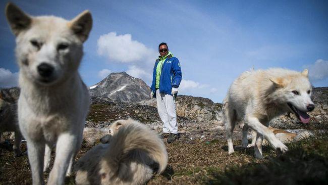 Anjing-anjing Greenland menjadi teman sejati para penduduk, mulai dari bermain sampai berburu di musim dingin.
