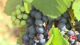 VIDEO:  Kualitas Anggur Prancis 'Melorot' Gara-gara Iklim