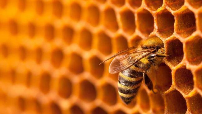 Lebah Pembunuh hijrah dari Asia dan ditemukan di Amerika Serikat, berikut sejumlah fakta serangga mematikan berukuran besar itu.