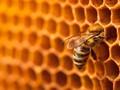 Fakta Lebah Raksasa Mematikan Asal Asia