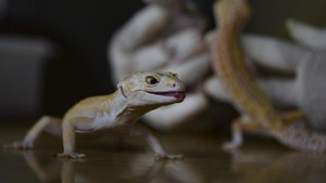Ilmuwan Ungkap Penemuan Spesies Tokek Baru di Bali