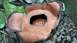 LIPI Jelaskan Perbedaan Rafflesia dan Bunga Bangkai