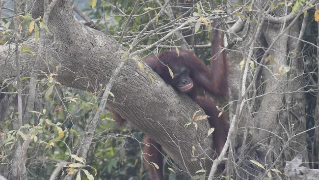Karhutla yang terjadi di Kalimantan turut mengancam keselamatan orangutan di pusat rehabilitasi milik Yayasan BOS.