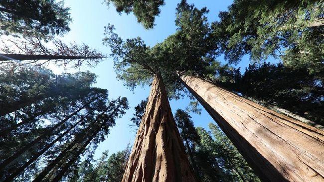 Pepohonan purba ini tumbuh di Sierra Nevada, California. Namun perubahan iklim dan kebakaran hutan mengancam eksistensinya.