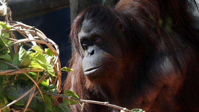 Peneliti mendorong agar Indonesia mempunyai rasa kebanggaan kepada orangutan sebagai endemik khas Indonesia dalam melakukan konservasi habitat.