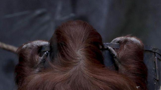 Orangutan Sumatra bernama Inji mati di usia 61 tahun, durasi usia yang langka dalam spesiesnya. Ia bahkan sudah memiliki anak dan cucu.