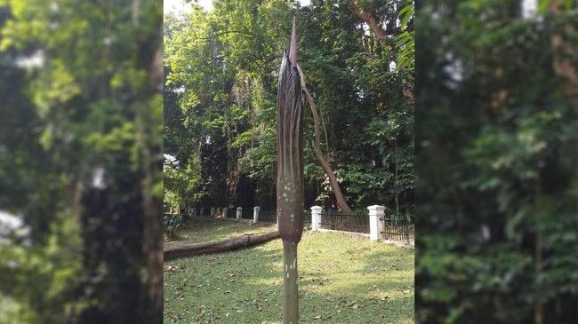Bunga Bangkai Raksasa Akan Mekar Di Kebun Raya Bogor