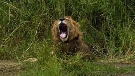 Misteri Keturunan Singa Modern dan Singa Gua Terungkap