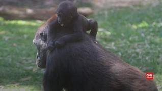 VIDEO: Brasil Sukses Kembang Biakkan Gorila Langka