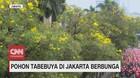 VIDEO: Pohon Tabebuya di Jakarta Berbunga