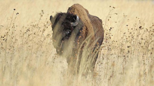 Patung purba menyerupai bison diperkirakan berusia 15 ribu tahun ditemukan di dalam sebuah gua di wilayah barat daya Prancis.