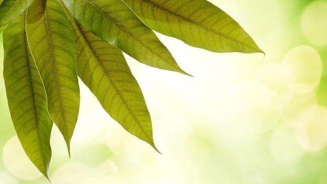 5 Manfaat Minum Air Rebusan Daun Mangga