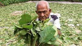 Fakta Daun Kratom Punya Efek Negatif, Flora di Asia Tenggara