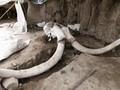 VIDEO: Fosil Mammoth Terbesar Ditemukan di Meksiko