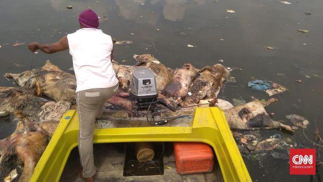 Gubernur Sumatera Utara Edy Rahmayadi mengimbau warga agar tak membuang bangkai babi yang terserang hog cholera ke sungai karena melanggar aturan lingkungan.
