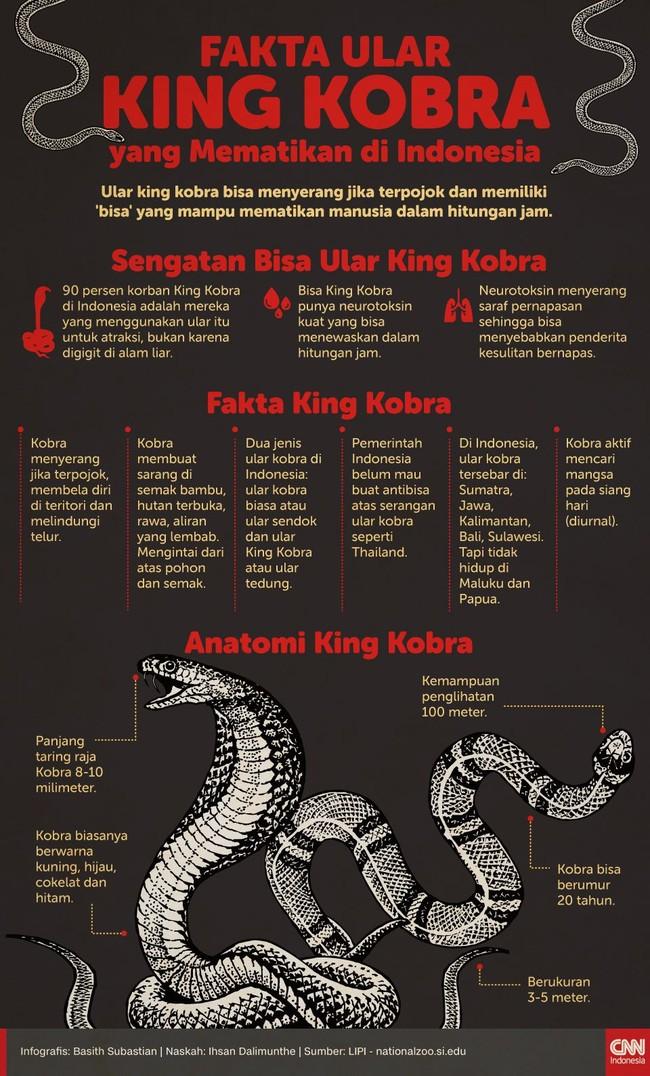 Ular King Kobra biasanya akan menyerang jika sudah terpojok dan memiliki 'bisa' yang mampu membunuh manusia dalam hitungan jam.