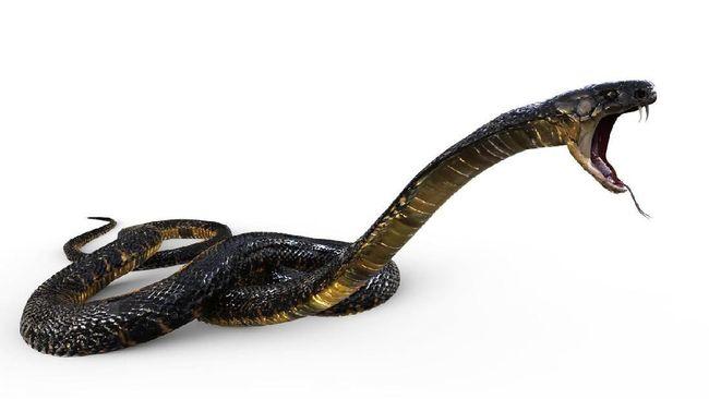 LIPI membagikan beberapa tips agar rumah aman dari segela jenis ular seperti ular kobra saat beberapa daerah di Indoesia masuk musim hujan.
