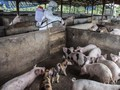 878 Babi Mati di Palembang Akibat Demam Afrika