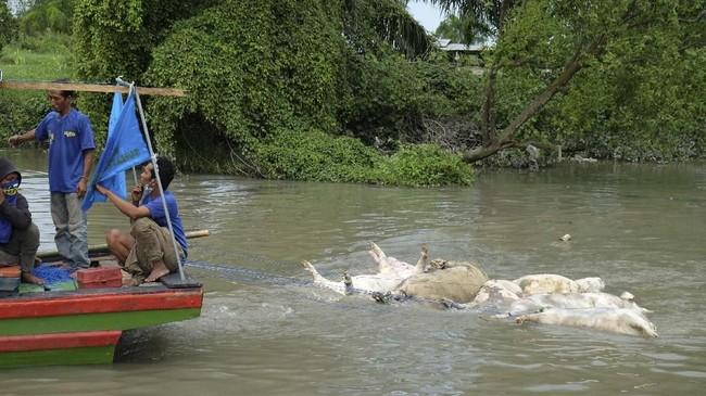 Ratusan bangkai babi terpapar virus Hog Cholera berserakan di sungai dan mencemari lingkungan sejumlah wilayah di Sumatera Utara.