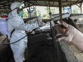 Flu Babi G4 Virus Baru, Infeksi 4,4 Persen Warga China