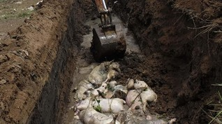 878 Babi di Palembang Mati Misterius, Penyebab Diselidiki