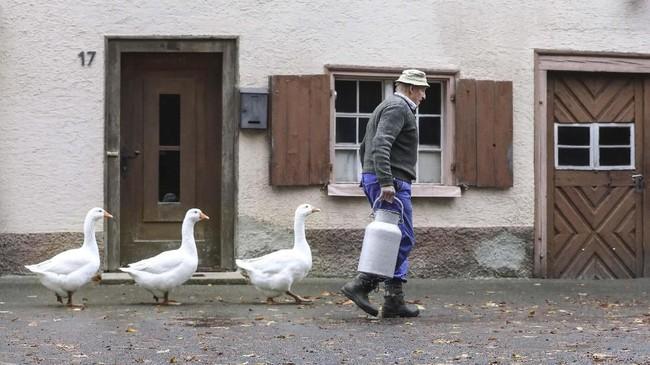 Angsa mengikuti sang peternak di Langenenslingen-Wilflingen, Jerman pada Jumat (8/11). (Thomas Warnack/dpa via AP)