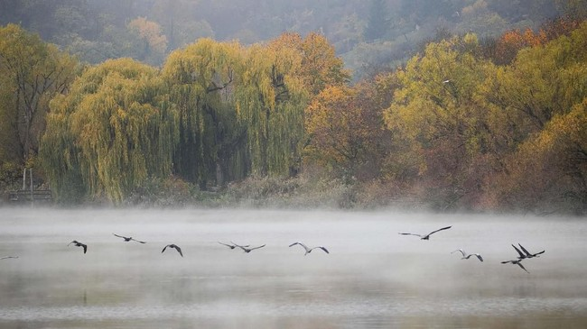 Bangau terbang di atas Danau Max-Eyth yang berkabut di Stuttgart, Jerman pada Minggu (10/11). (Christoph Schmidt/dpa via AP)