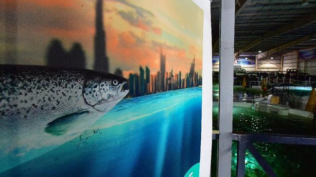 Di tengah panasnya gurun Dubai, mereka berambisi untuk beternak ikan salmon yang butuh suhu sejuk dan arus bak Samudera Atlantik.