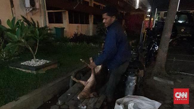 Polrestabes Medan kembali mengamankan pelaku yang hendak membuang seekor bangkai babi yang diangkut menggunakan becak barang.