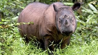 Badak Sumatera Terakhir Malaysia Mati