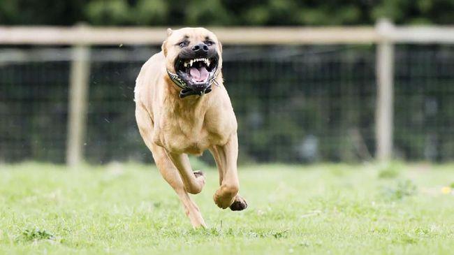 5 Fakta Tentang Anjing Pitbull