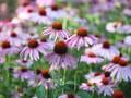 Ahli Ungkap Penyebab Bunga di Seluruh Dunia Berubah Warna